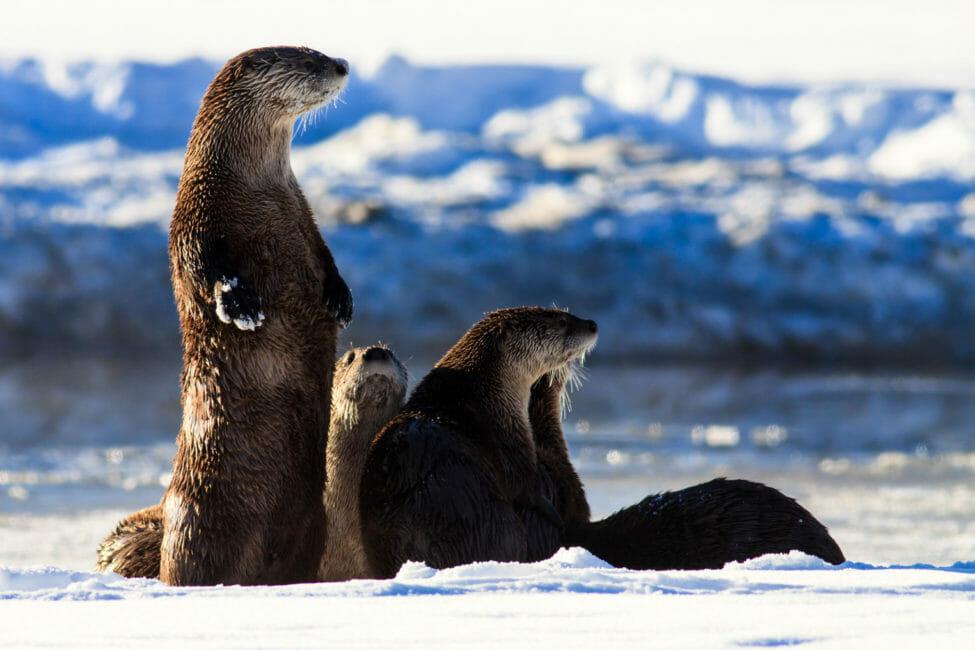 Otters along the Snake River in Grand Teton