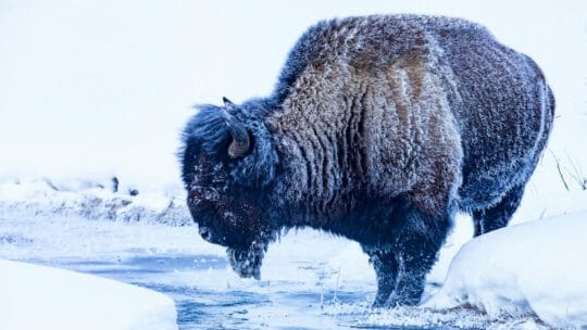 A Frost Covered Bison Stands At The Water's Edge In Yellowstone National Park