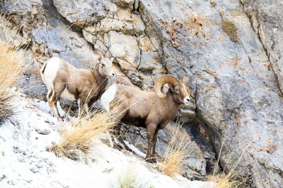 Bighorn Sheep Lamar Valley Yellowstone