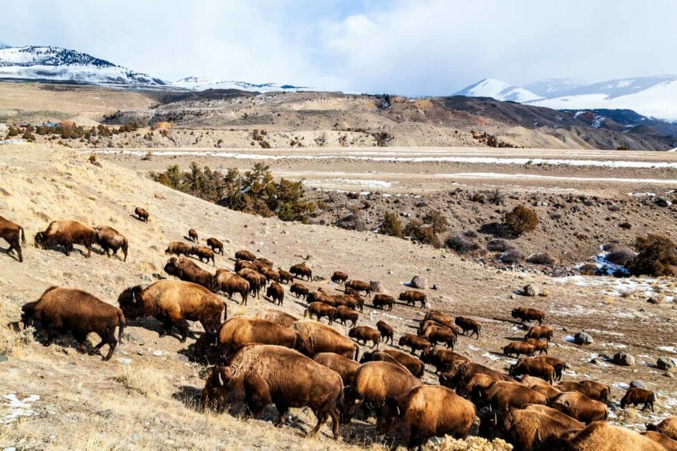 Bison migrating out of Yellowstone National Park