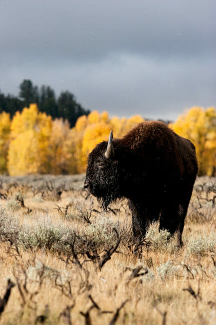 Bison in Grand Teton National Park with fall colors