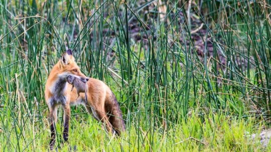Red fox hunting in Yellowstone National Park