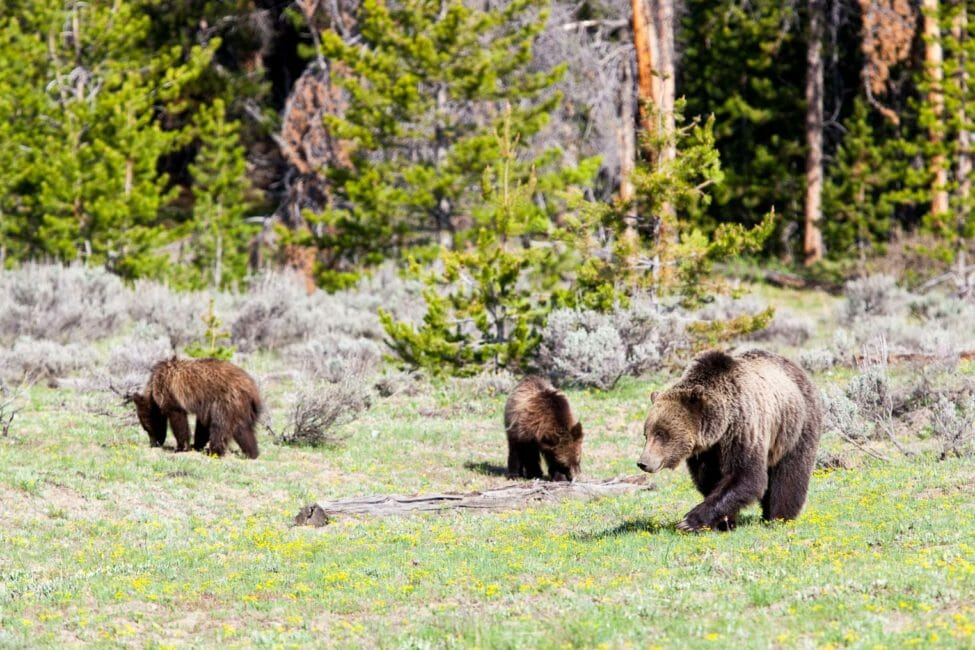 Grizzly Bears in Grand Teton National Park