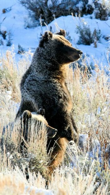 Grizzly bear sow standing on snowy grass in Jackson Hole