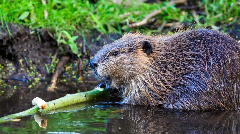 American Beaver along the Snake River in Grand Teton National Park.