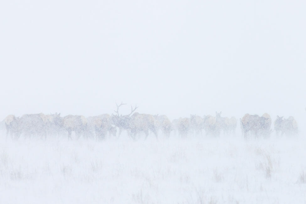 Herd of elk on the National Elk Refuge of Jackson Hole