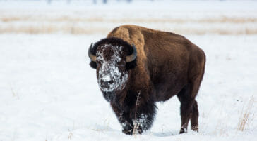 Bison with snow covered face in Jackson Hole