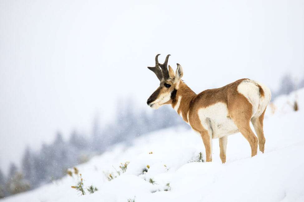pronghorn in the snow in Grand Teton National Park, Jackson Hole Wyoming