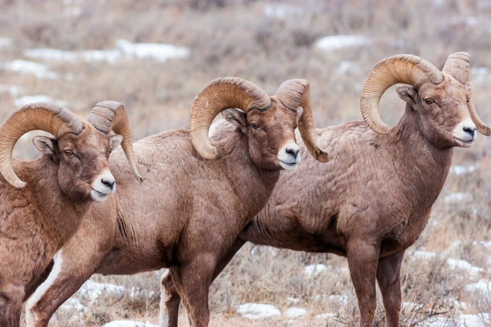 Bighorn sheep rams National Elk Refuge Jackson Hole