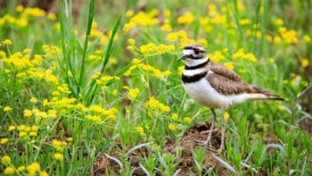Killdeer in flowers Grand Teton National Park