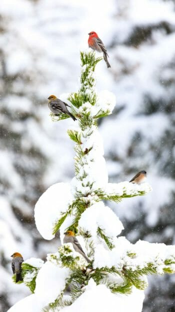 birds on a snowy tree