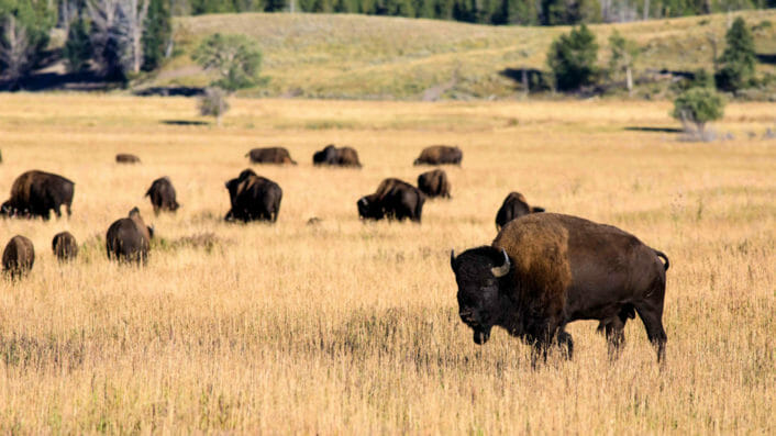 bison herd on field