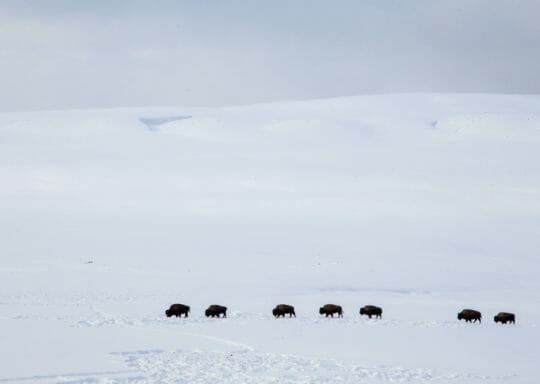 Bison in Yellowstone's Hayden Valley