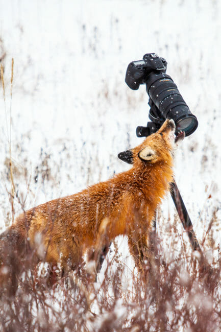 Red fox checking out a camera near Churchill, Manitoba