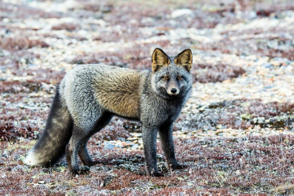 Cross fox in Churchill Manitoba Canada