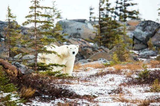 Polar bear in the Tiaga forest of Manitoba