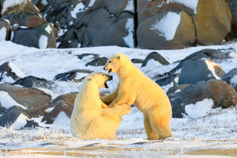 Polar bears sparring near Churchill Manitoba