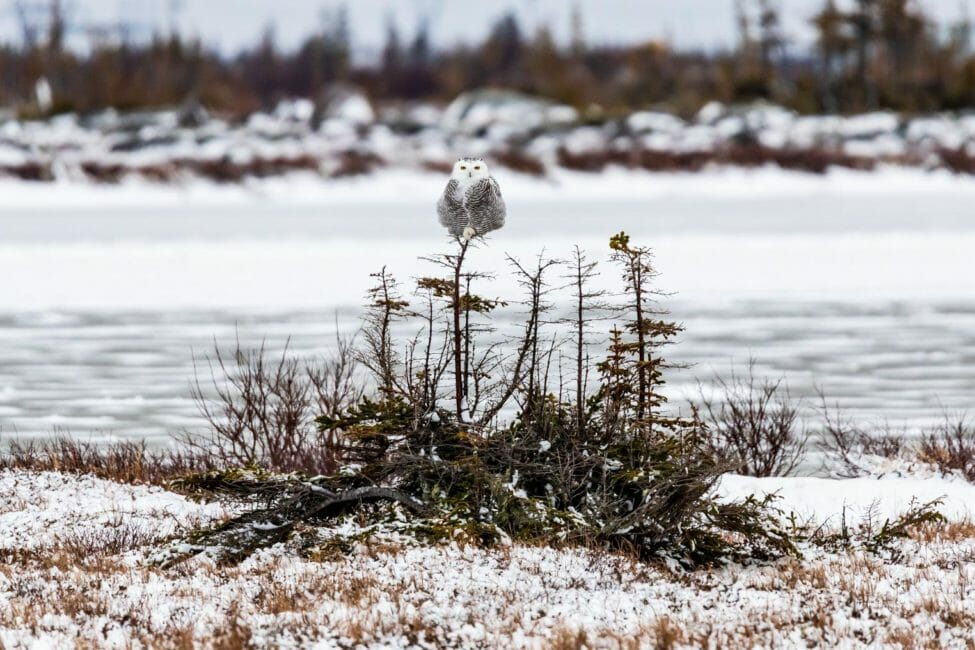 Snowy owl perched near Churchill Manitoba