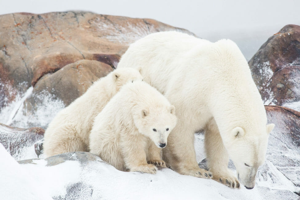Polar bear sow and cubs waiting for the Hudson Bay to freeze near Churchill, Manitoba