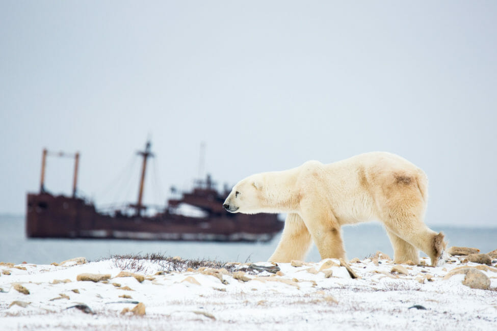 Polar bear walking along the Hudson Bay coastline with a shipwreck in the background