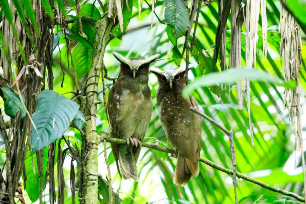two owls in the amazon rainforest