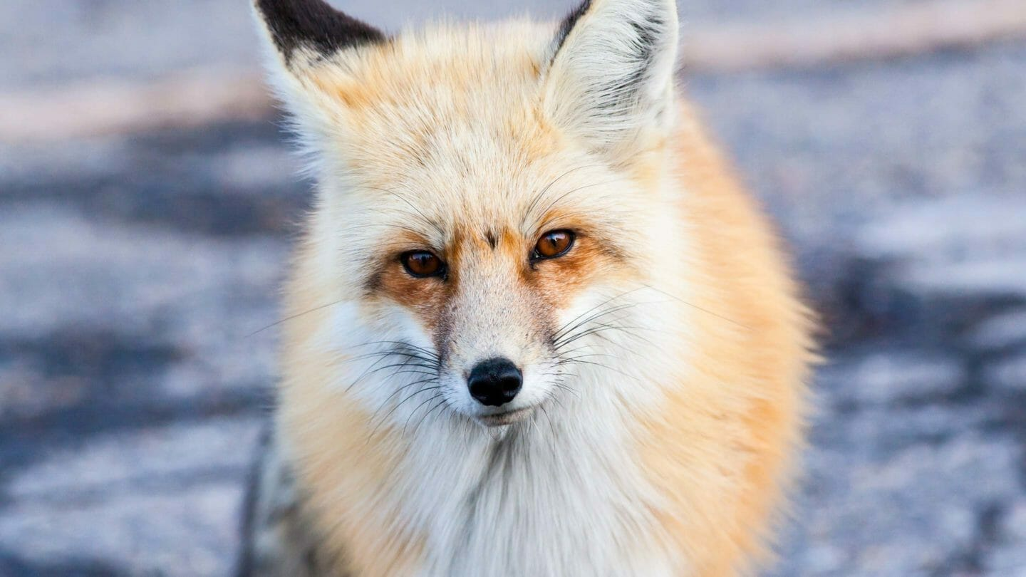 Red fox during winter in northern Grand Teton National Park