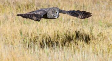Great grey owl flying in Jackson Hole