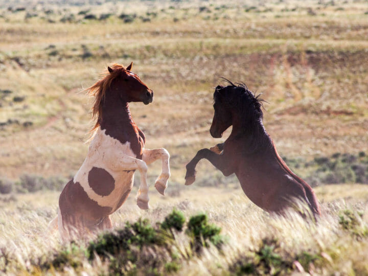 Wild horses sparring