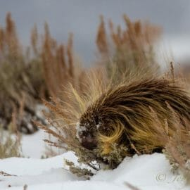 A Porcupine Nibble On Evergreen Sage In Wintertime Grand Teton National Park