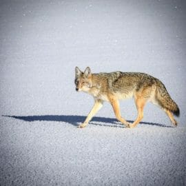 Coyote walking on the frozen Yellowstone River during the middle of winter