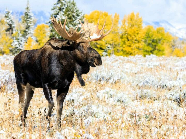 Moose standing in Grand Teton National Park