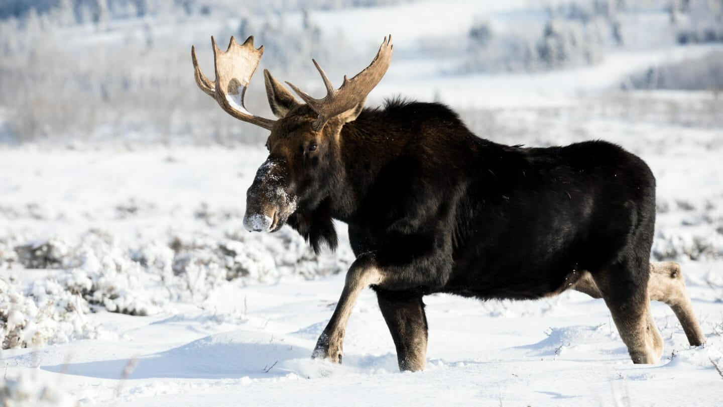 bull moose in Grand Teton National Park winter