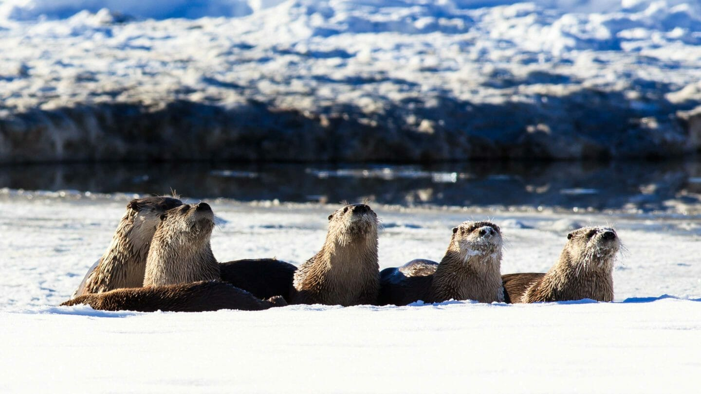 otters along the Snake River in Grand Teton