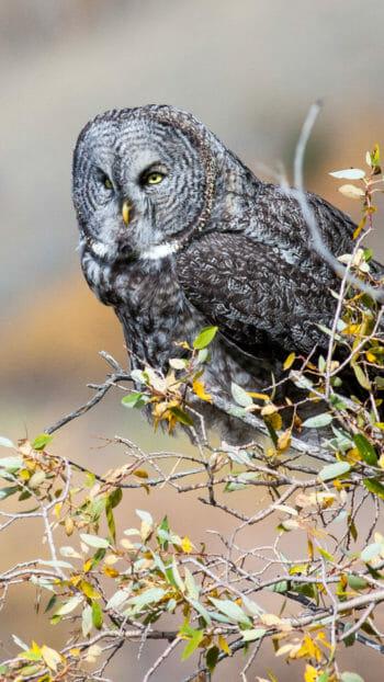 Great grey owl in Jackson Hole