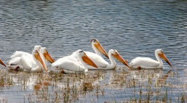 Pelicans along the Snake River in Jackson Hole