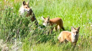 foxes in the grass