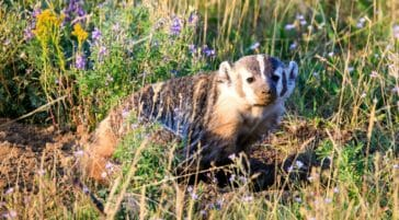 American Badger in Grand Teton National Park