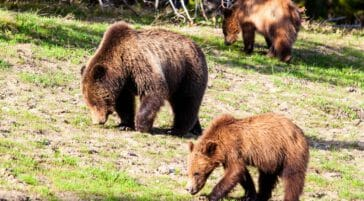 three brown bears walking through field