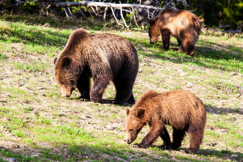 three brown bears walking through field