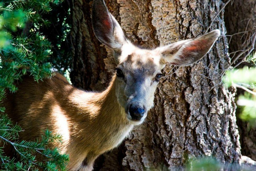 Mule deer in Grand Teton National Park