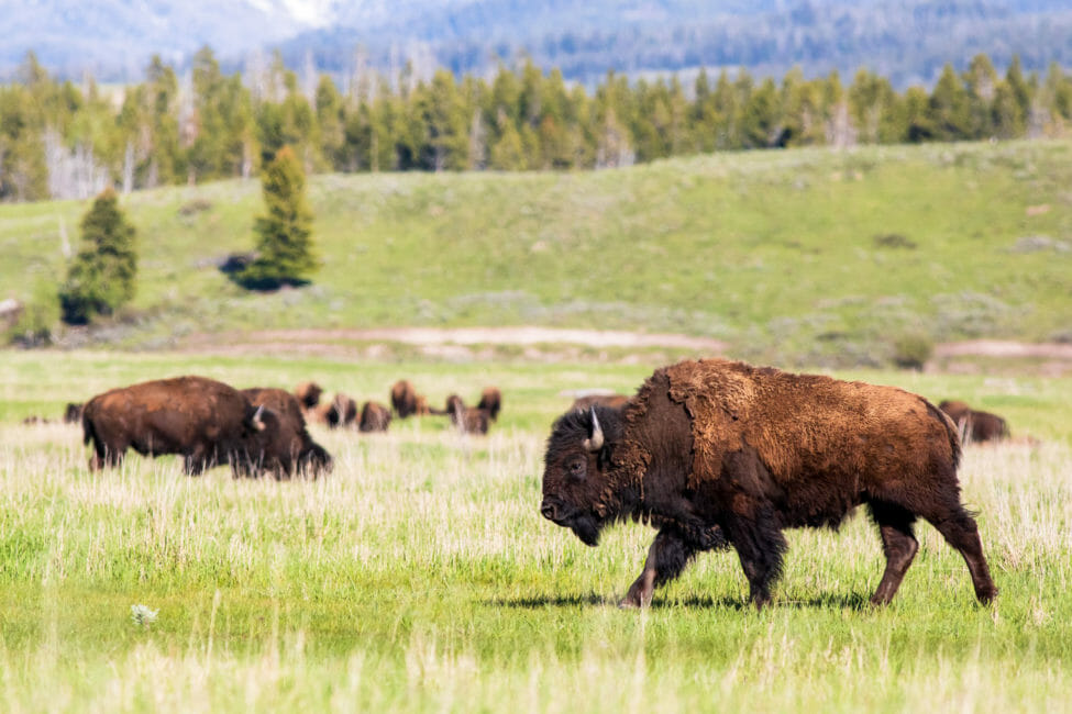 Herd of bison in Grand Teton National Park