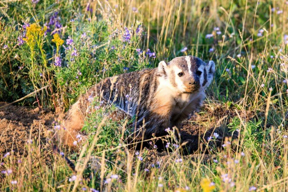 American Badger in Grand Teton National Park