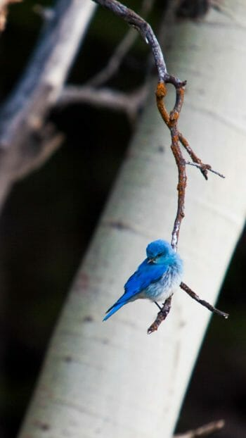 Mountain Blue bird in Grand Teton National Park