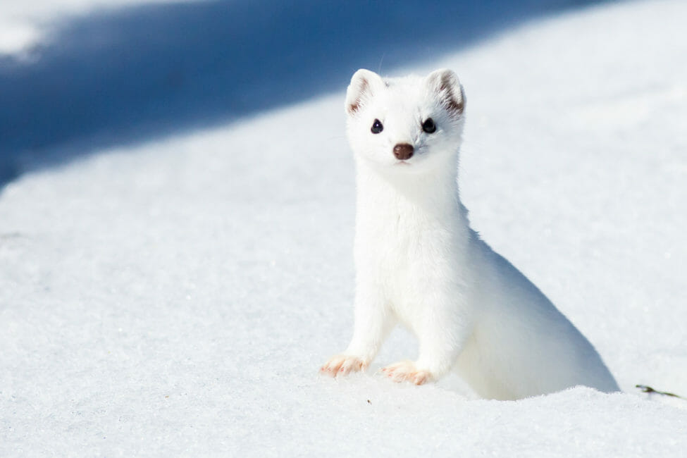 Ermine in Jackson Hole