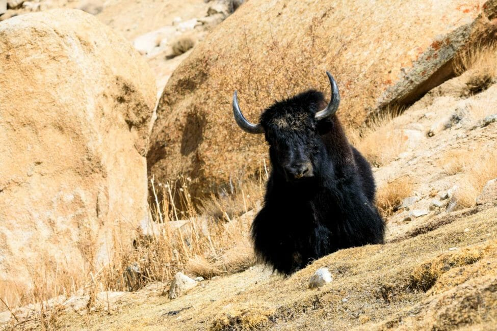 A Yak Sits On A Hillside In Rural Ladakh In India