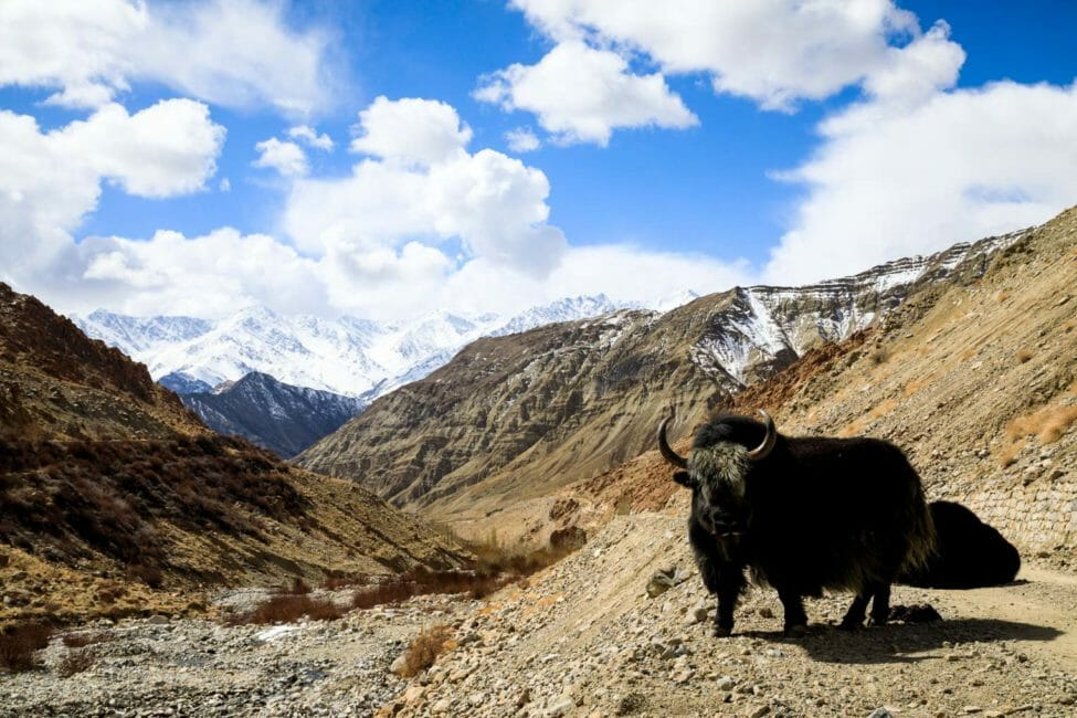 buffalo roaming the himalayas