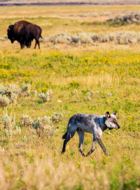 Bison and wolf crossing paths in Yellowstone National Park