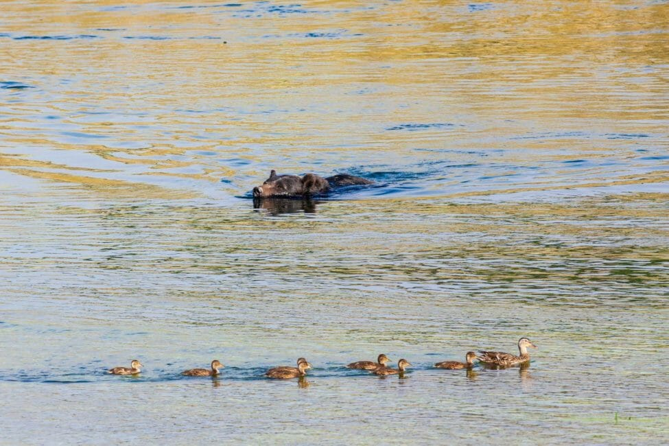 Grizzly bear swimming past ducks in the Yellowstone River