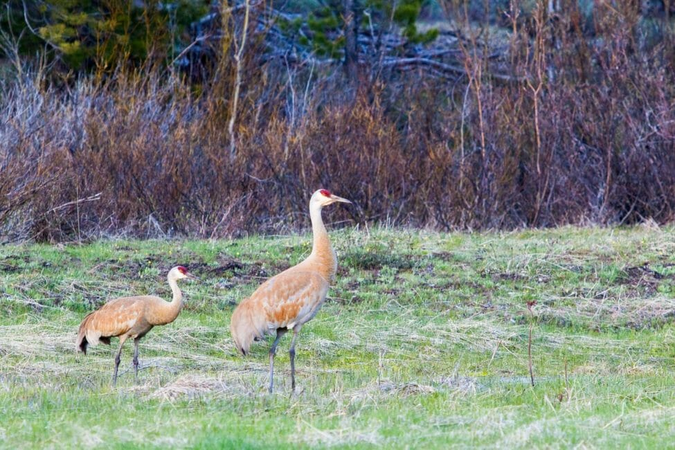 Sandhill cranes in Jackson Hole