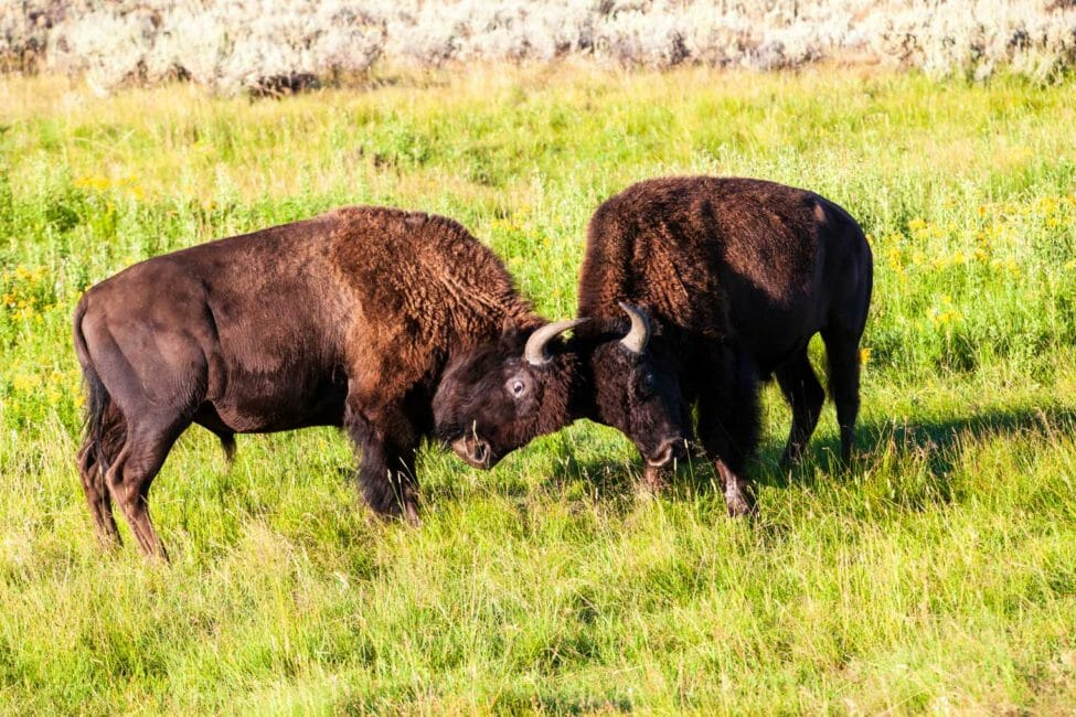 Bull bison sparring in Yellowstone National Park